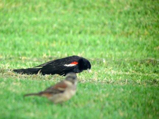 Long-tailed Widowbird (male)