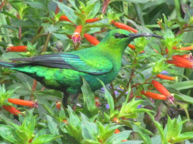 Malachite Sunbird (male)