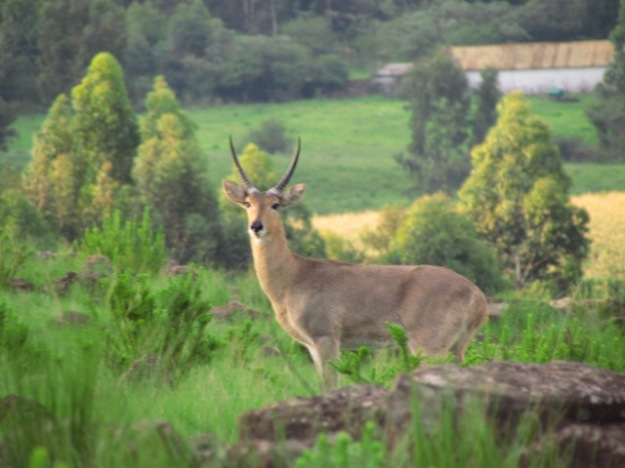 Common Reedbuck (male)