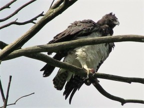 Martial Eagle - Shaking his feathers