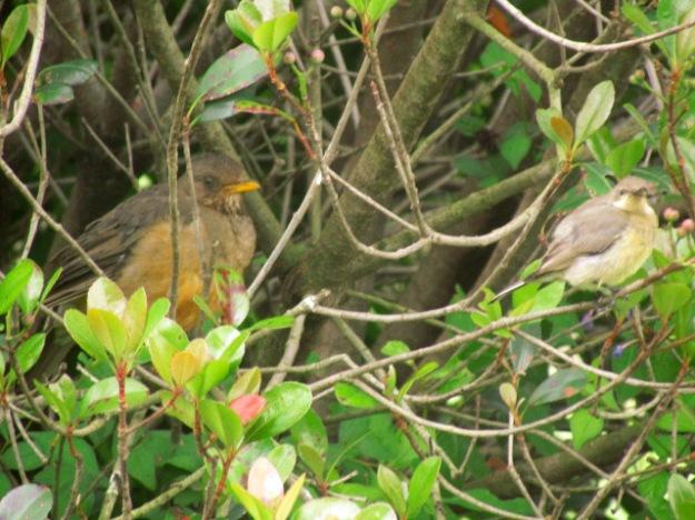 Olive Thrush and female Malachite Sunbird