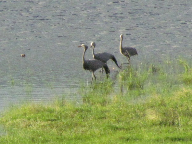 Our blue crane juvenile still with parents and growing rapidly
