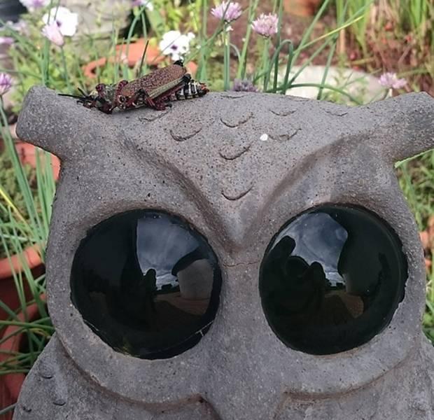 Owl-and-Locust