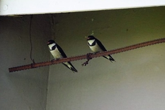 Pat built a perch for our white throated swallows whose nest is under the eaves behind them