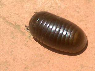 Pill Millipede 2