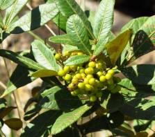 Searsia berries