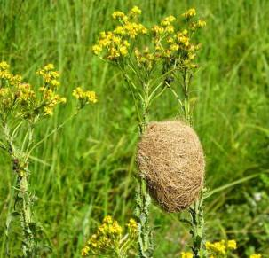 r Weaver nest in wetlans