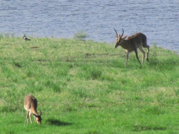 Reedbuck at dam