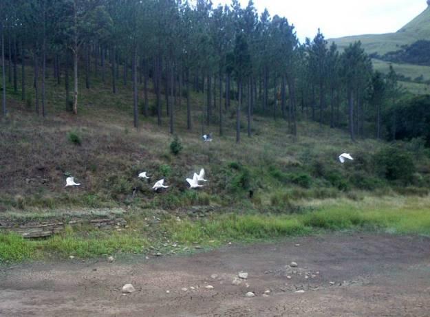 Spoonbills flying over dry dam