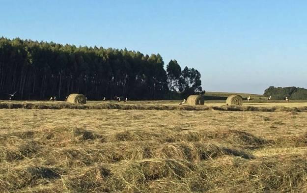 Storks in fields 1