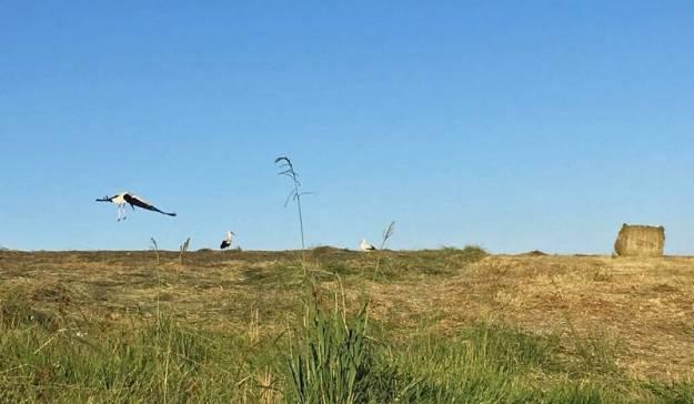 Storks in fields 2