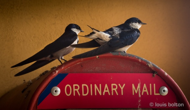 White-throated Swallows