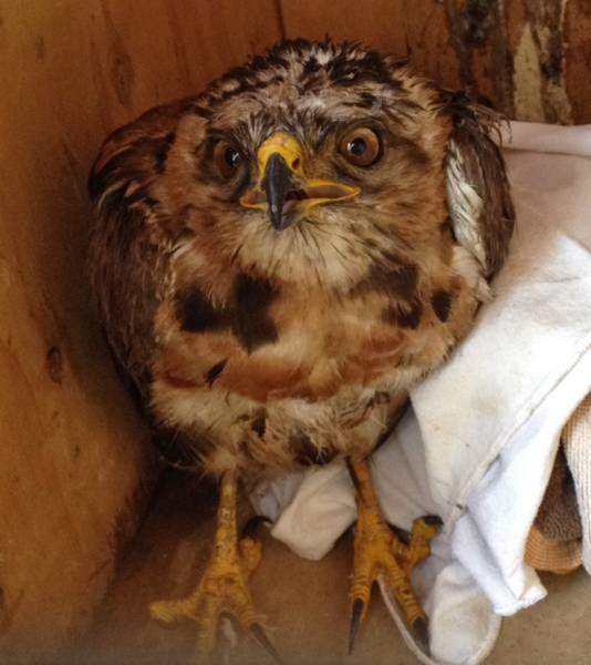 Young injured Jackal Buzzard