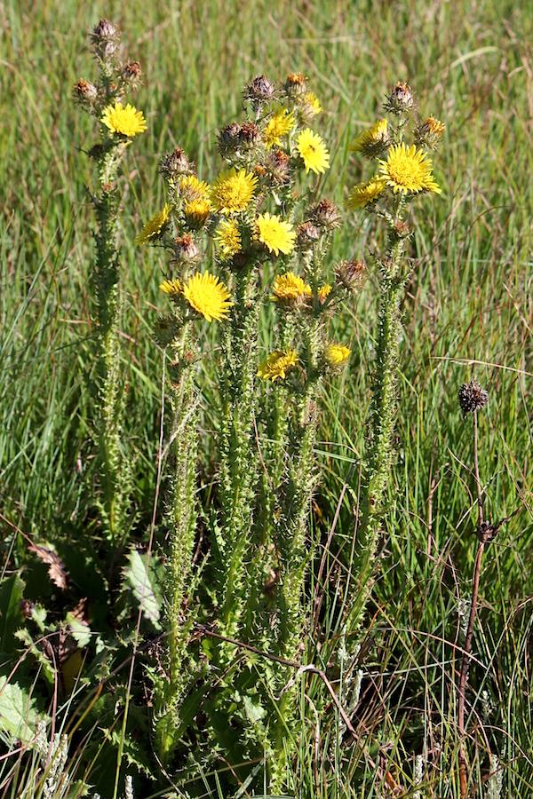 03 Flower Berkheya echinacea IMG_4822
