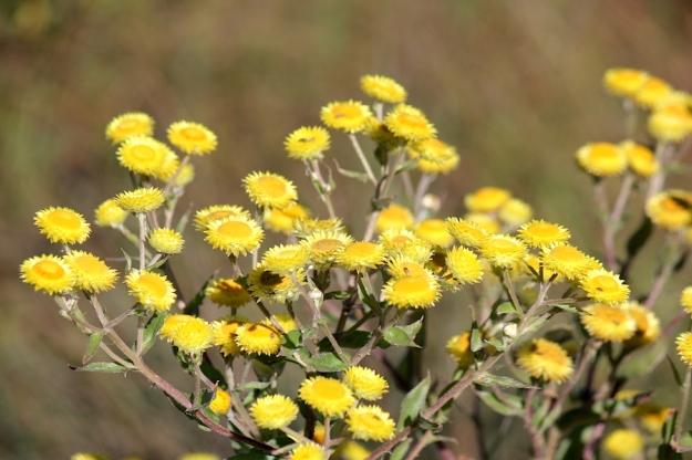 03 Flower Helichrysum cooperi IMG_4816