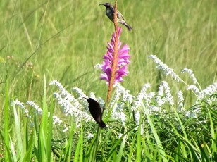 Male and female Amethyst Sunbirds