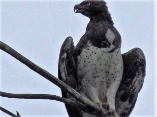 Marshal eagle 2