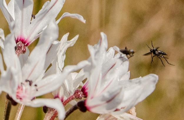 Nerine pollinator