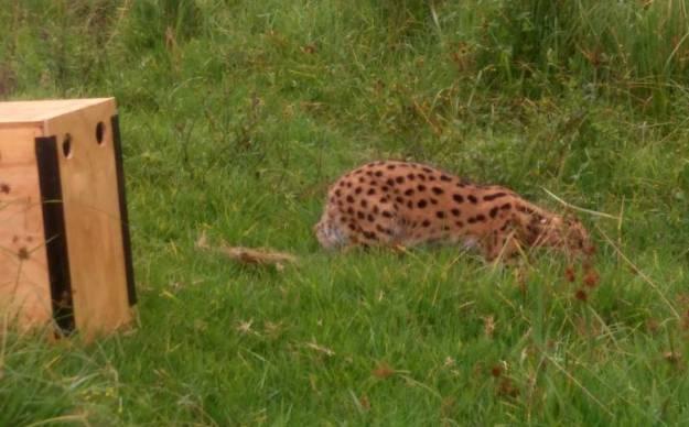 Serval 2