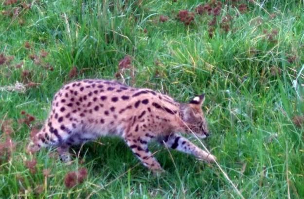Serval 3