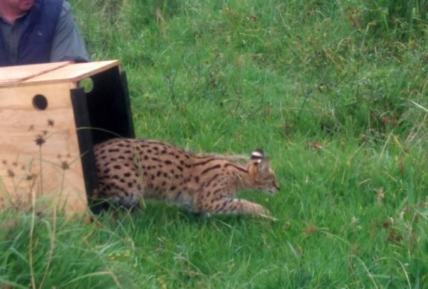 Serval 5