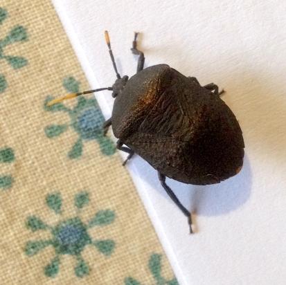 07 Insects Aspongopus nubilis IMG_1989
