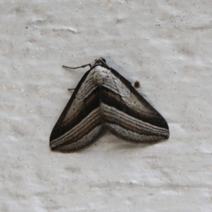 07a Insects Moth IMG_5325