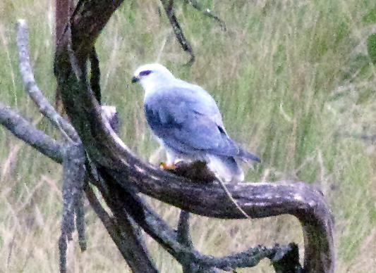 black shouldered kite eating rat 1