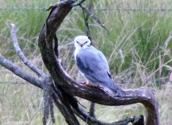black shouldered kite eating rat 2