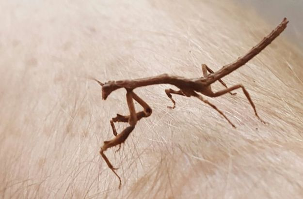 Brown Mantis 1