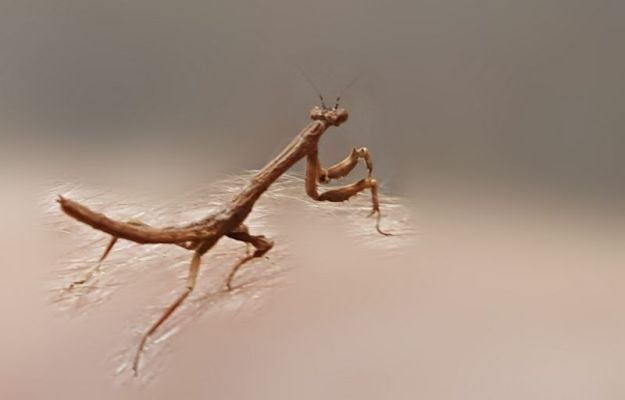 Brown Mantis 2