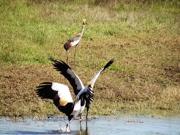 crowned crane showing off and juvenile taking to the hills 1