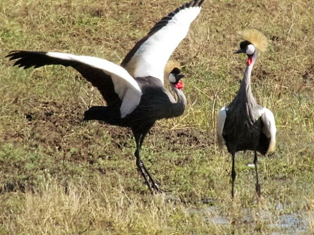 crowned crane showing off and juvenile taking to the hills 2