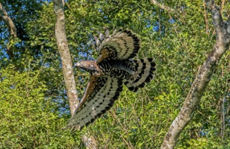 Crowned Eagle Pic 3