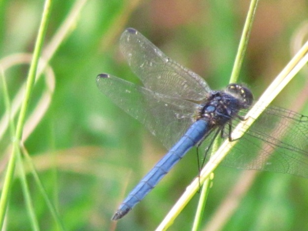 darner dragon fly