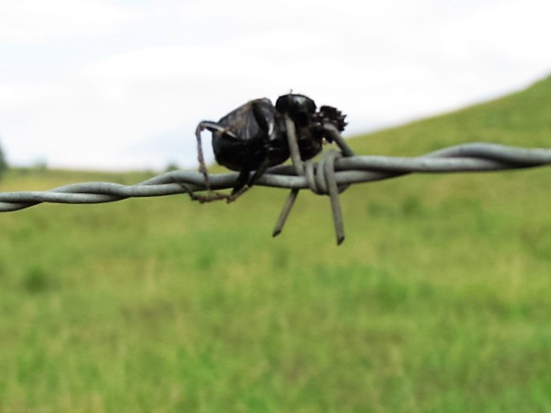 dung beetle on wire