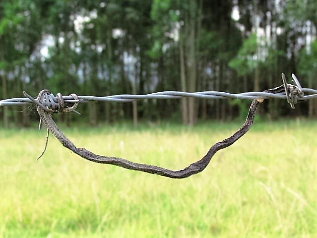 fiscal shrikes larder – snake