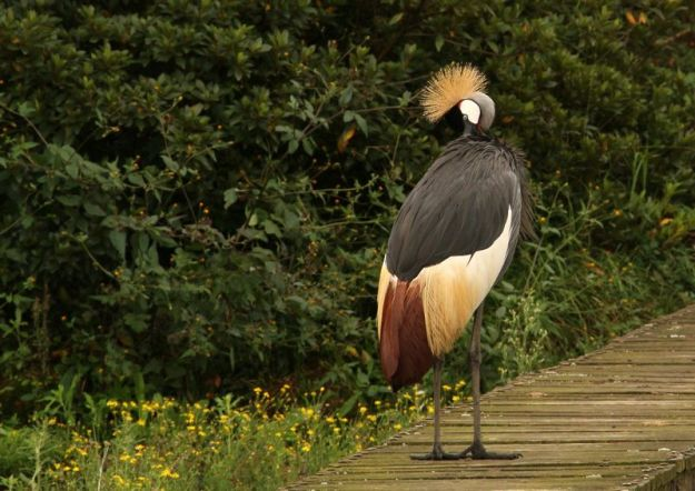 Grey crowned crane 2
