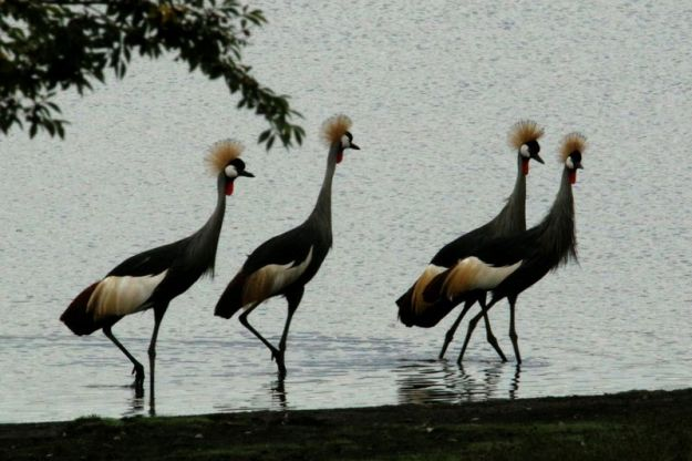 Grey crowned crane 4