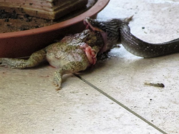 herald snake trying to eat bull frog 1