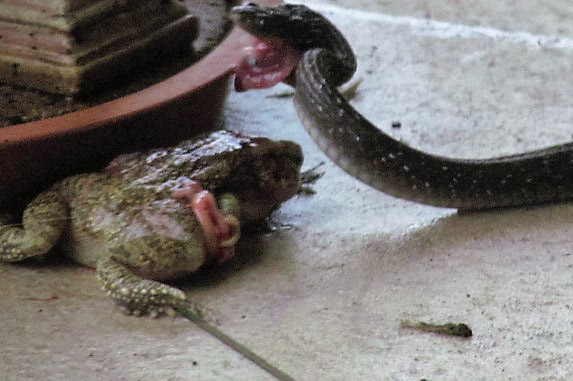 herald snake trying to eat bull frog 2