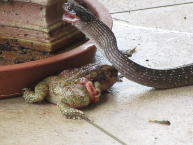 herald snake trying to eat bull frog 3