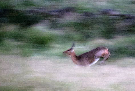 reedbuck in a hurry