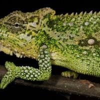 Midland's Dwarf Chameleon