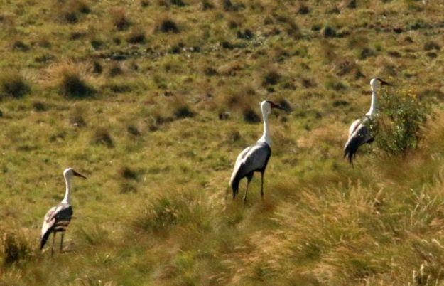 Wattled Cranes 1