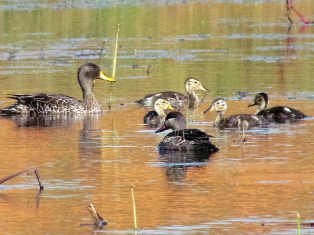 yellow billed duck and ducklings plus redbilled teal at sunset