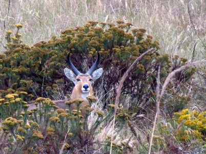 r autumn 2016 reedbuck hiding