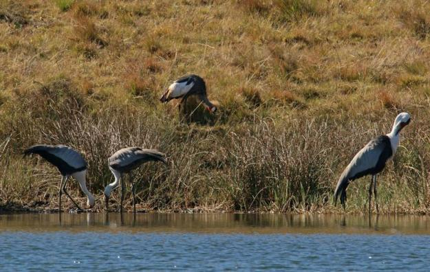 Wattled Cranes 2