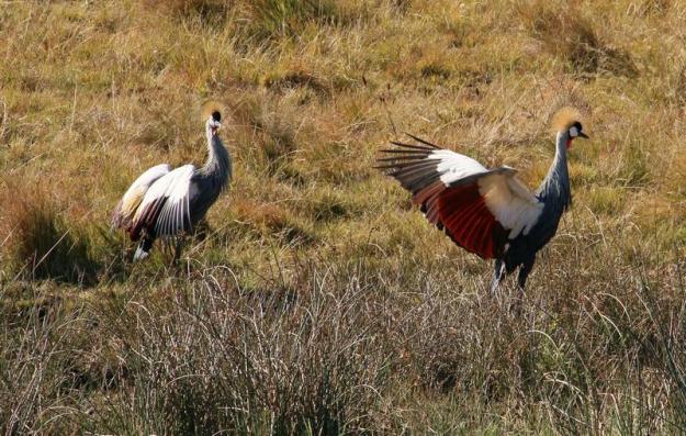 Wattled Cranes 3