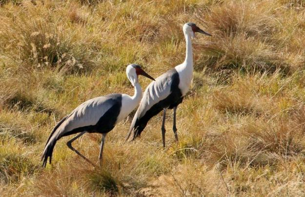 Wattled Cranes 4